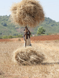 Man Loading Rice Straw onto Wooden Pole in Order to Carry it from the Field, Rural Orissa, Inda Photographic Print by Annie Owen