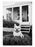 French Bulldog Southampton NY Photographic Print by Theo Westenberger