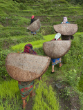 Female Farmers in Field with Traditional Rain Protection, Lwang Village, Annapurna Area, Photographic Print by Eitan Simanor