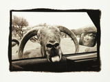 Ram in Car Photographic Print by Theo Westenberger