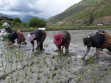 Female Farmers Transplanting Rice Shoots into Rice Paddies, Paro Valley, Bhutan, Asia Lámina fotográfica por Eitan Simanor