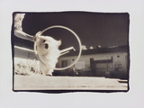 Lulu jumping through hoop Photographic Print by Theo Westenberger
