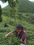 Women Plucking Tea, Fikkal, Nepal, Asia Photographic Print by Eitan Simanor