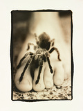 Tarantula on Foot Photographic Print by Theo Westenberger