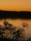 Papyrus Reeds Along Zambezi River at Sunset, Eastern End of the Caprivi Strip, Namibia, Africa Photographic Print by Kim Walker