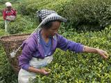 Women Plucking Tea, Fikkal, Nepal, Asia Fotodruck von Eitan Simanor