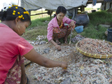 Women Sorting Out Fish Catch in the Fishing Village of Thinga Gyi, Irrawaddy Delta, Myanmar (Burma) Photographic Print by Eitan Simanor