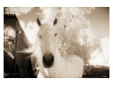 White Horse Black Nose Photographic Print by Theo Westenberger