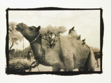 Camel and Birds Photographic Print by Theo Westenberger