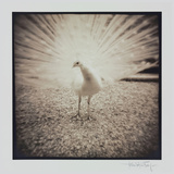 White Peacock Photographic Print by Theo Westenberger