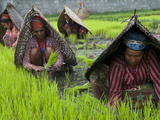 Female Farmers at Work in Rice Nursery, with Rain Protection, Annapurna Area, Pokhara, Nepal, Asia Photographie par Eitan Simanor