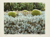 California Cactus Garden 1975 Photographic Print by Theo Westenberger