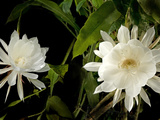 Queen of Night (Epiphyllum Oxypetalum), Blooms Only Once at Midnight for Few Hours, Philippines Photographic Print by Luca Tettoni