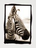 Zebra in the Mirror 2 Photographie par Theo Westenberger