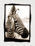 Zebra in the Mirror 2 Photographic Print by Theo Westenberger