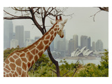Giraffe at the Sydney Opera House Photographic Print by Theo Westenberger