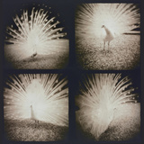 White Peacock Four times Photographic Print by Theo Westenberger