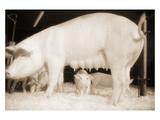 Pig and Five Piglets Fotografie-Druck von Theo Westenberger