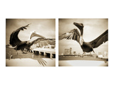Pelicans St Petersburg, 1 Photographic Print by Theo Westenberger