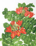 African Tulip Tree Collectable Print by Marion Sheehan