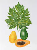 Papaya Collectable Print by Marion Sheehan