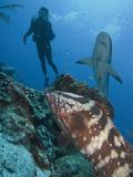 Diver, Nassau Grouper (Epinephelus Striatus), Caribbean Reef Shark (Carcharhinus Perezii), Honduras Photographic Print by Antonio Busiello