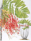 Mcarthur Palm Collectable Print by Marion Sheehan