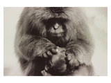 Snow Monkey Japan Photographic Print by Theo Westenberger