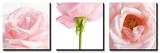 Lyserød rose, tredelt billede Plakater