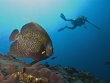 French Angelfish (Pomacanthus Paru) with a Diver Spearfishing Behind, Roatan, Bay Islands, Honduras Photographic Print by Antonio Busiello