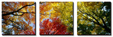 Panoramic Images - Colorful Trees in Fall, Autumn, Low Angle View - Poster