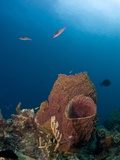 Barrel Sponges and Creole Wrasse, St. Lucia, West Indies, Caribbean, Central America Photographic Print by Lisa Collins