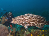 Diver Filming Black Grouper (Mycteroperca Bonaci)), Roatan, Bay Islands, Honduras, Caribbean Photographic Print by Antonio Busiello