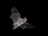 Cave Myotis (Myotis Velifer) in Flight in Captivity, Hidalgo County, New Mexico, USA, North America Fotografisk tryk af James Hager