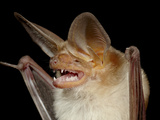 Pallid Bat (Antrozous Pallidus) in Captivity, Hidalgo County, New Mexico, USA, North America Photographic Print by James Hager
