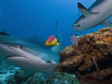 Caribbean Reef Shark (Carcharhinus Perezii) and Coral Reef Fish, Roatan, Bay Islands, Honduras Photographic Print by Antonio Busiello