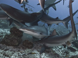 Caribbean Reef Shark (Carcharhinus Perezii) During Feeding Frenzy, Roatan, Bay Islands, Honduras Photographic Print by Antonio Busiello
