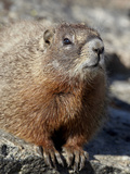 Yellow-Bellied Marmot (Marmota Flaviventris), Shoshone Nat&#39;l Forest, Wyoming, USA Photographic Print by James Hager