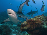 Caribbean Reef Shark (Carcharhinus Perezii), Roatan, Bay Islands, Honduras, Caribbean Photographic Print by Antonio Busiello
