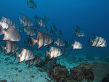 Atlantic Spadefish (Chaetodipterus Faber), Roatan, Bay Islands, Honduras, Caribbean Photographic Print by Antonio Busiello
