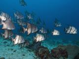 Atlantic Spadefish (Chaetodipterus Faber), Roatan, Bay Islands, Honduras, Caribbean Photographic Print by Antonio Busiello