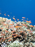 Reef with Male and Female Redfin Anthias (Pseudanthias Dispar), Sulawesi, Indonesia, Southeast Asia Photographic Print by Lisa Collins