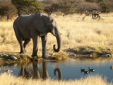 African Elephant (Loxodonta Africana), World's Largest Land Animal, Etosha Nat'l Park, Namibia Photographic Print by Kim Walker