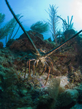 Spiny Lobsters, Roatan, Bay Islands, Honduras, Caribbean, Central America Photographic Print by Antonio Busiello