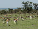 Thompson's Gazelle (Gazella Thomsoni), Masai Mara, Kenya, East Africa, Africa Photographic Print by Sergio Pitamitz
