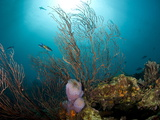 Reef Scene with Fan Coral and Vase Sponge, St. Lucia, West Indies, Caribbean, Central America Photographic Print by Lisa Collins