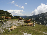 Small Herd of Cows (Bos Taurus) on Alpine Pastureland in Julian Alps, Triglav Nat'l Park, Slovenia Photographic Print by Nick Upton