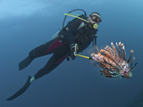 Diver Spearfishing Lionfish (Pterois Volitans), Roatan, Bay Islands, Honduras, Caribbean Photographic Print by Antonio Busiello