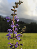 Meadow Clary (Salvia Pratensis) Flowering in Traditional Hay Meadow, Julian Alps, Slovenia Photographic Print by Nick Upton