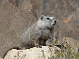 Young Grayish Yellow-Bellied Marmot (Marmota Flaviventris), Shoshone Nat&#39;l Forest, Wyoming, USA Photographic Print by James Hager